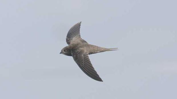 Un vencejo común. La forma de sus alas les permite ser muy rápidos. Ellos aprovechan las corrientes de aire caliente para planear y ahorrar energía