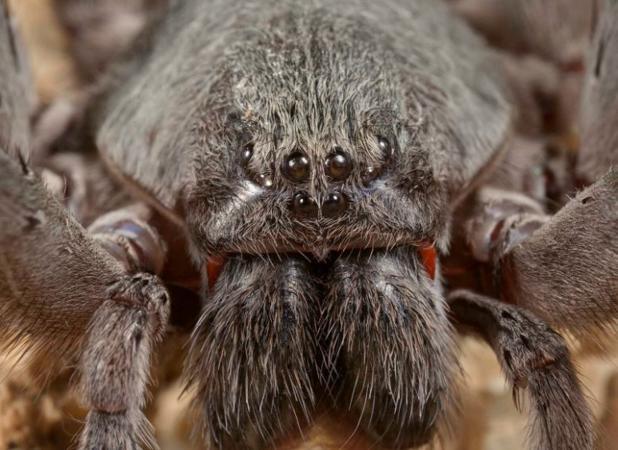 La nueva especie, Califorctenus cacachilensis, tiene dos temibles colmillos venenosos
