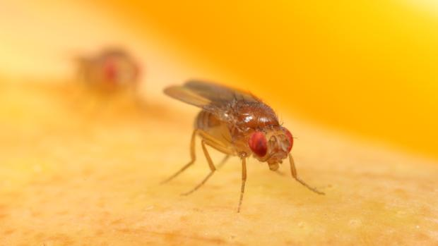 Mosca de la fruta o Drosophila melanogaster