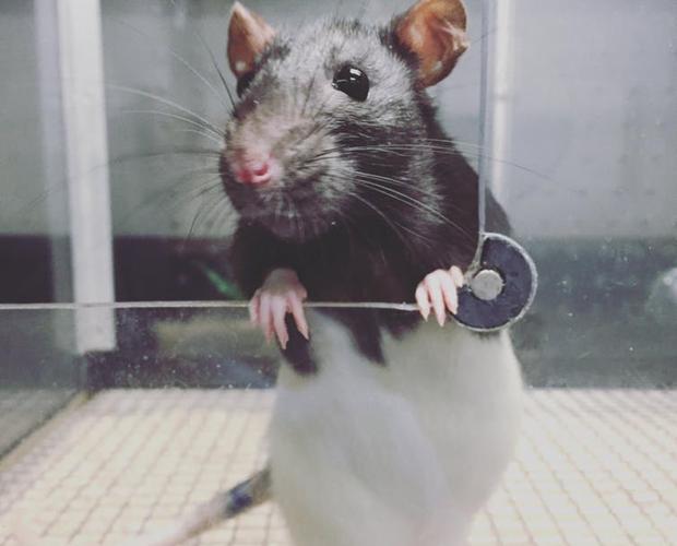Una rata en el laboratorio de la Universidad de Concordia