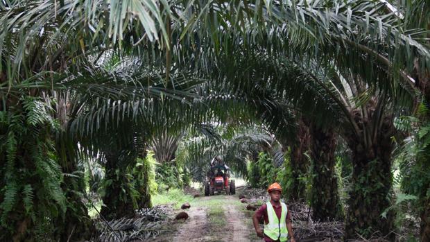 Con 11.000 hectáreas y mil trabajadores, la empresa Sime Darby explota una plantación de aceite de palma sostenible en la isla de Carey, en Malasia