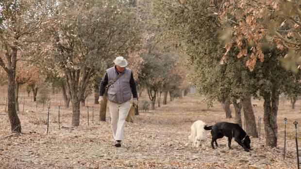 Un productor, junto a sus perros especializados en detectar la trufa, hongo que crece bajo tierra