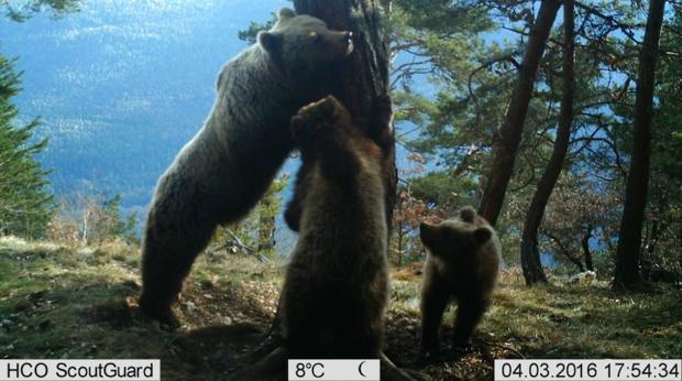 La mayoría de los 31 osos contabilizados en el Pirineo catalán viven en la zona de Arán y en el Parque Natural del Alto Pirineo
