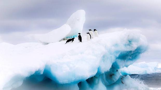 Se estima que 36.000 ejemplares de pingüinos adelaida viven en la Antártida Oriental