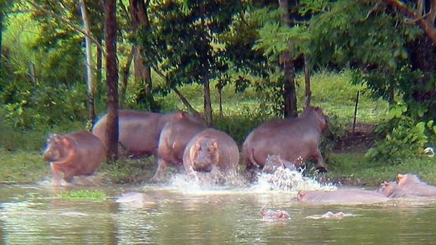 Los hipopótamos de Pablo Escobar, la mayor especie invasora del mundo