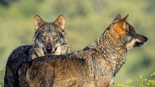 El biólogo Arturo Menor estrena el 5 de octubre el documental de naturaleza «Barbacana, la huella del lobo»