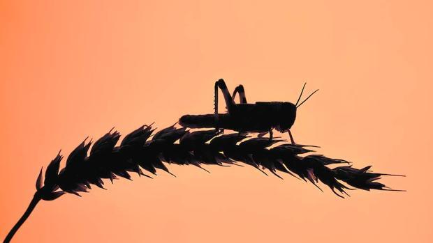 Insectos voraces ponen en peligro las cosechas