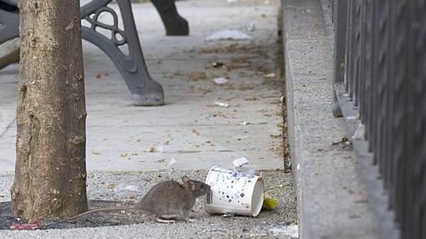 Una rata en una de las calles de Sevilla