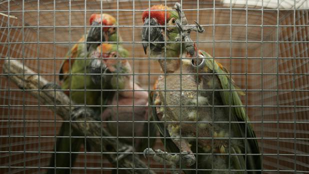 Aves exóticas incautadas por la Guardia Civil