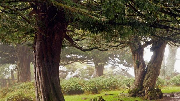 Imagen de un tejo en un bosque de Cantábria